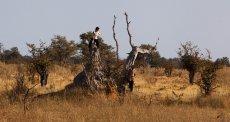 Afryka, sawanna